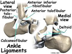 anatomy ankle ligaments