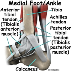 ankle tendons